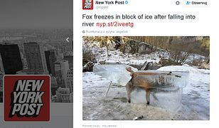 Martwy lis ostrzeżeniem dla turystów