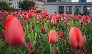 Warszawa. Ponad 700 tys. kwiatów zakwitnie przy ulicach i parkach
