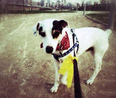 Psy z żółtą wstążką. Trener wyjaśnia, co oznacza ten znak
