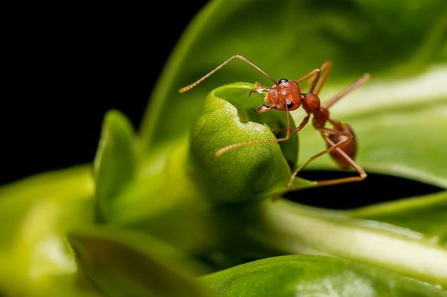 Mrówki potrafią narobić dużo problemów