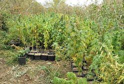 """Marihuana na działce należącej do męża Gronkiewicz-Waltz. """"Ponad pół tysiąca krzewów"""""""
