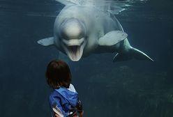 USA. Park wodny udostępnił niezwykłe nagranie badania USG wielorybicy