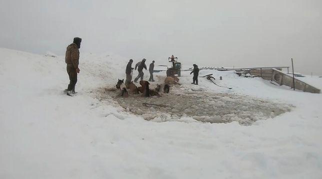 Rosja. 11 koni wpadło do lodowej pułapki