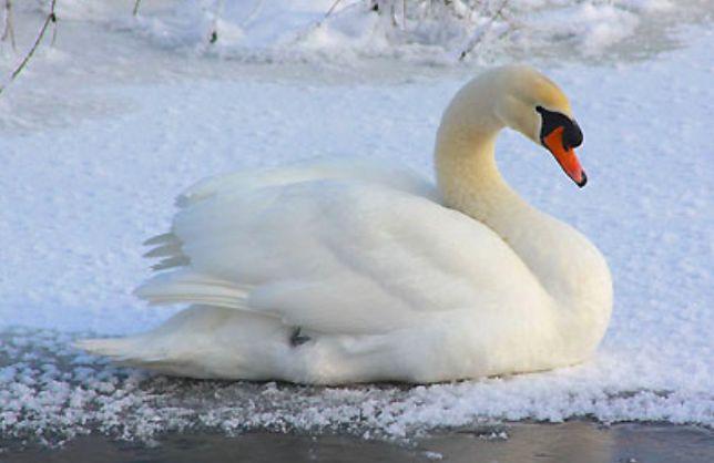 Mazowieckie. Przypadek ptasiej grypy w Płońsku. Zakażony wirusem był łabędź