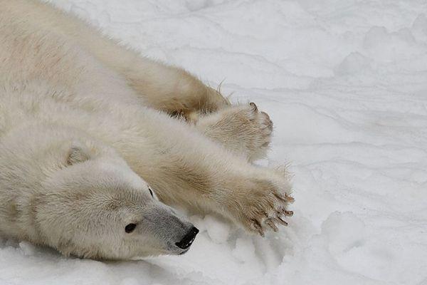 DNA białego niedźwiedzia pozyskane z tropów na śniegu
