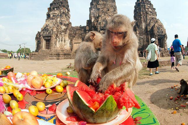 Najdziwniejsze święto na świecie? Małpia uczta w Tajlandii