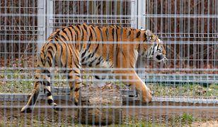 Ratowała zdrowie i życie tygrysów. Nagroda dla dyrektor poznańskiego zoo