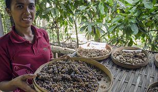 Kopi luwak jest niezwykła z dwóch powodów. Po pierwsze jest najdroższą kawą na świecie, a po drugie przetwarzana jest przez cywety