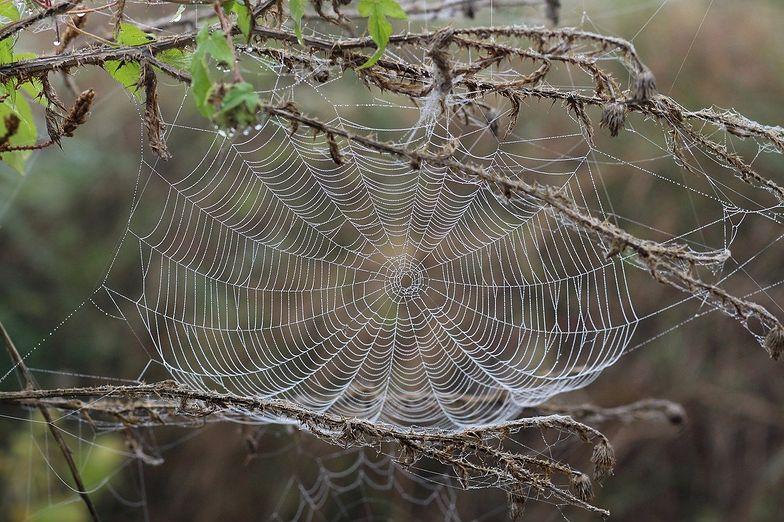 Niesamowita muzyka pająków. Dźwięki przyprawiają o dreszcze