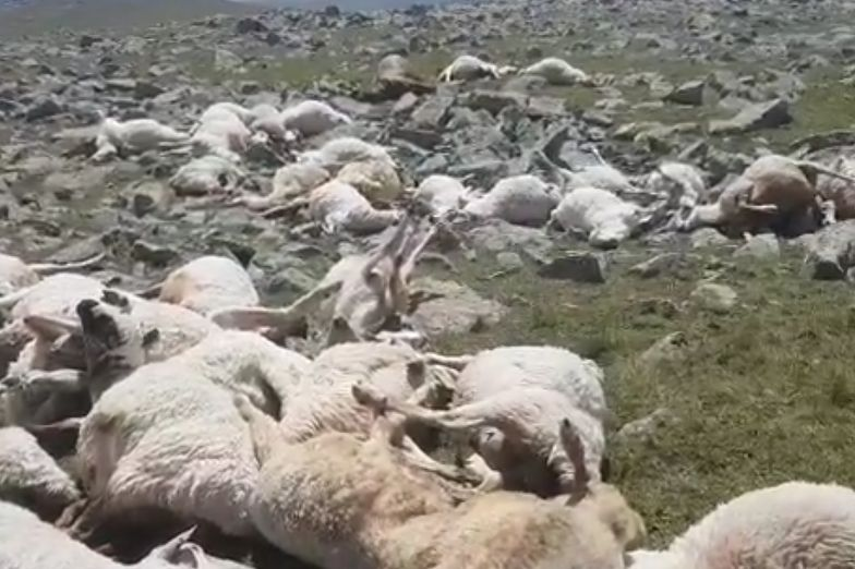 Makabra w górach. Piorun zabił ponad 500 owiec