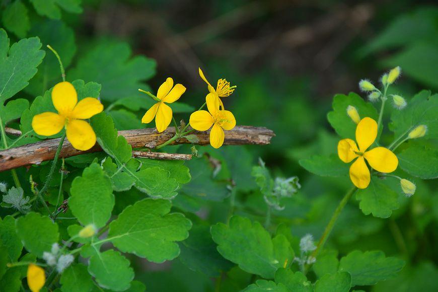Jaskółcze ziele – trujące źródło zdrowia