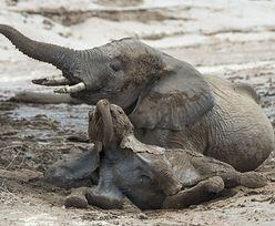 Nie żyją 154 słonie. Tajemnicza tragedia w Afryce