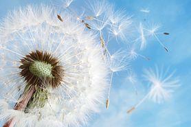 Kalendarz pylenia roślin - dla alergików. Jakie rośliny uczulają? Jak walczyć z alergią?