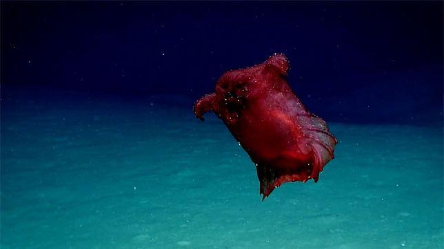 Enypniastes eximia to denne zwierzęta występujące w morzach słonych