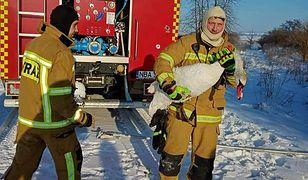 Mazury. Strażacy uwolnili łabędzie przymarznięte na jeziorach