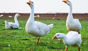 Kolejne ogniska ptasiej grypy. 178 tysięcy sztuk drobiu do utylizacji