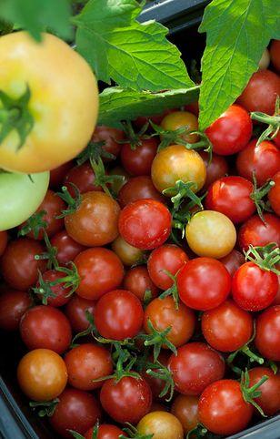 Właściwości pomidorów koktajlowych nie różnią się znacznie od właściwości pomidorów dużych
