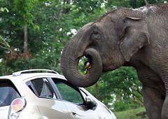 Indie - atak słonia-złodzieja