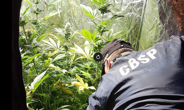 Opolskie CBŚP zlikwidowało laboratorium i dwie plantacje konopi