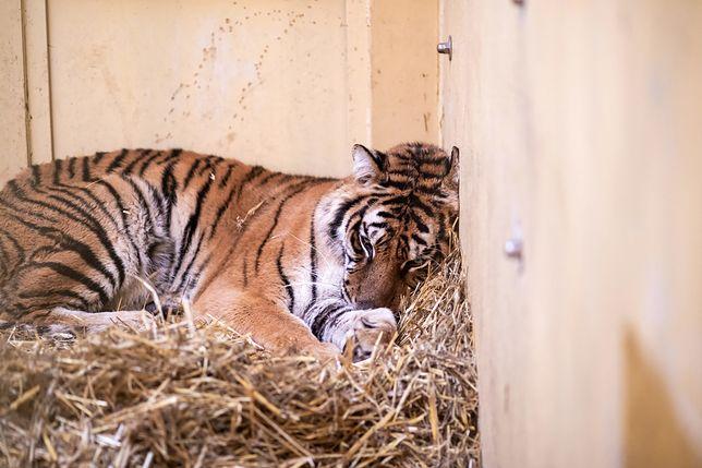 Tygrysy do poznańskiego zoo trafiły w złym stanie