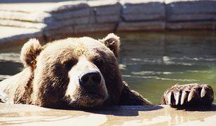Niedźwiedzie już na wybiegu