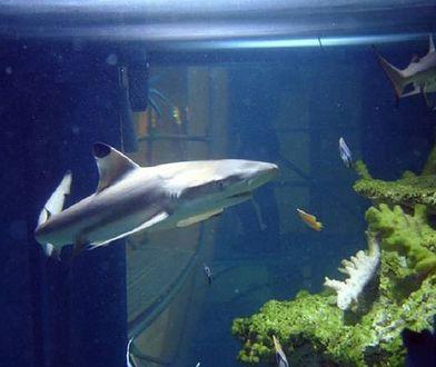 Żarłacz czarnopłetwy jeszcze we wrocławskim akwarium