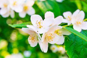 Kwiaty doniczkowe - jaśmin, lawenda, gardenia, sansewieria, aloes, bluszcz zielony