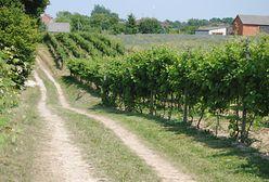 Winnice w Polsce. Wcale nie trzeba wyjeżdżać za granicę
