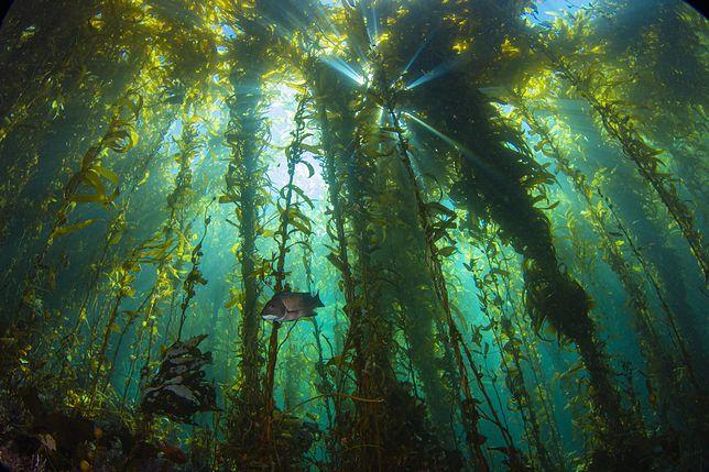 Podwodny las robi wrażenie