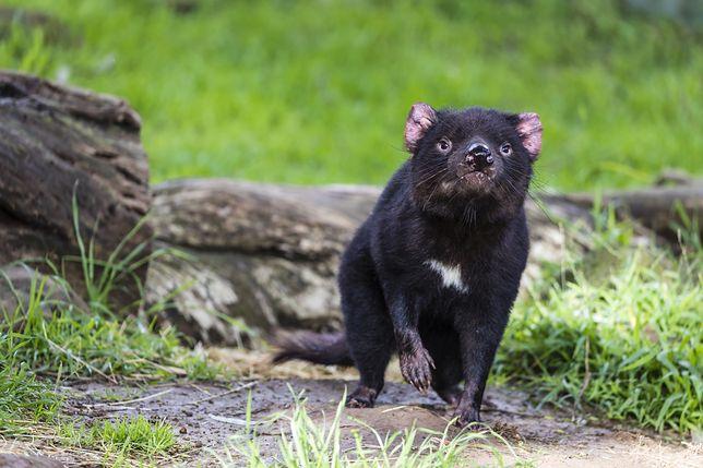 Diabeł tasmański - zdjęcie ilustracyjne
