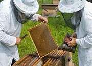 Pszczoły giną masowo - sytuacja jest tragiczna