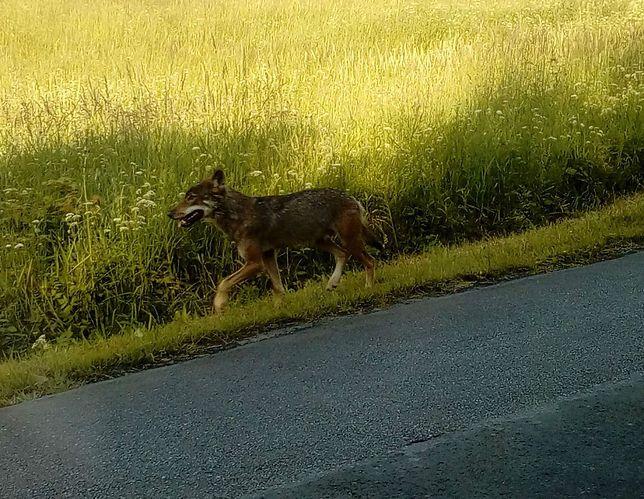 Nowe informacje o wilku, który pogryzł dzieci w Bieszczadach