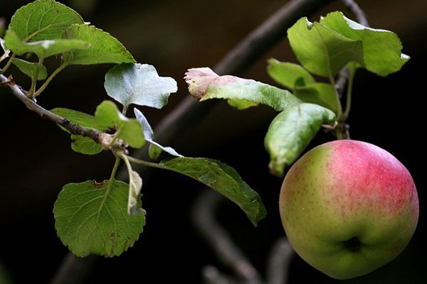 Mniejsze zbiory jabłek w tym roku