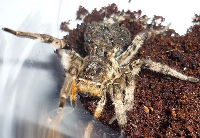 Tarantula ukraińska wygląda groźnie. Pytamy eksperta, czy faktycznie mamy się czego obwiać