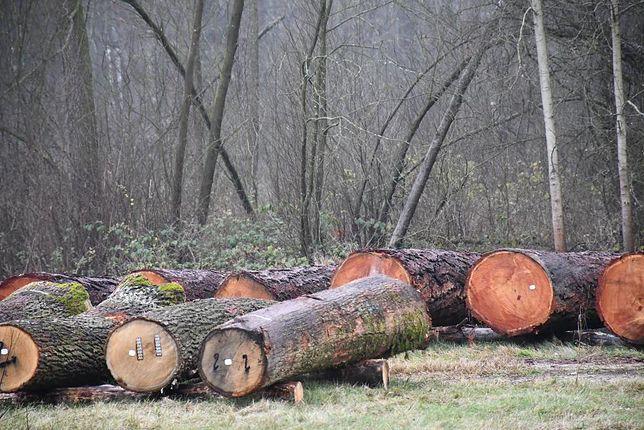 Radom. RDLP poinformowała o sprzedaży najcenniejsze okazu drewna