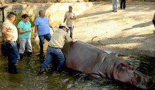 Gustavito nie żyje. Hipopotam, ulubieniec Salwadoru, został brutalnie zaatakowany w zoo. Minister sprawiedliwości wszczyna śledztwo