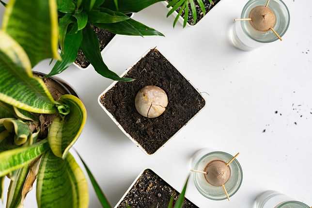 Jak wyhodować w domu drzewo awokado? Praktyczny poradnik
