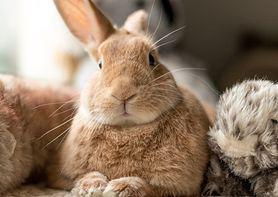 Królik domowy miniaturka - cena, karmienie, alergia. Jak opiekować się królikiem?