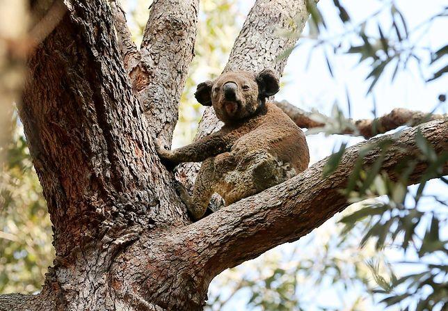 Koala w niebezpieczeństwie. Pożary w Australii zabiły już setki misiów