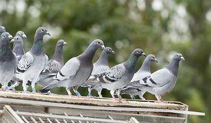 Jak odstraszyć gołębie z balkonu?