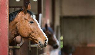 Podkarpackie: Rumuni znęcali się nad końmi. Zostali aresztowani