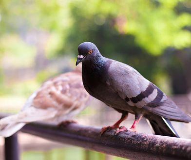 Jak w prosty sposób poradzić sobie z upierdliwymi ptakami?