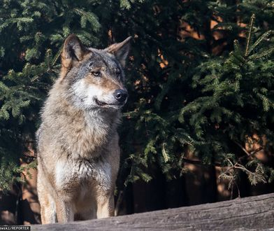 Lubliniec. Młody wilk skonał w męczarniach. Wpadł we wnyki kłusowników
