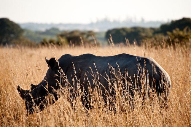 Nosorożec w Imire