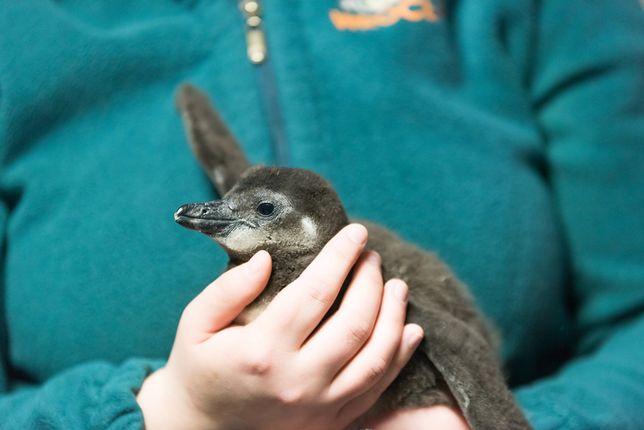Wrocławska kolonia pingwinów to jedna z największych w Europie