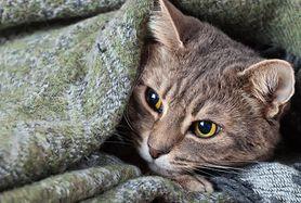 FIP u kota – objawy, leczenie i zapobieganie