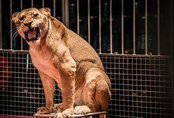 Rosja: lwica zaatakowała 3-latkę podczas przedstawienia cyrkowego