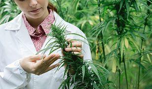 Produkcja marihuany stała się dochodowym biznesem