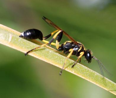 Gliniarz naścienny to smukły owad o czarnym tułowiu i charakterystycznych żółto-czarnych odnóżach