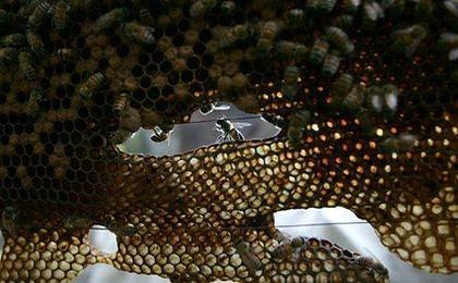Pszczoły pomogą zmniejszyć bezrobocie